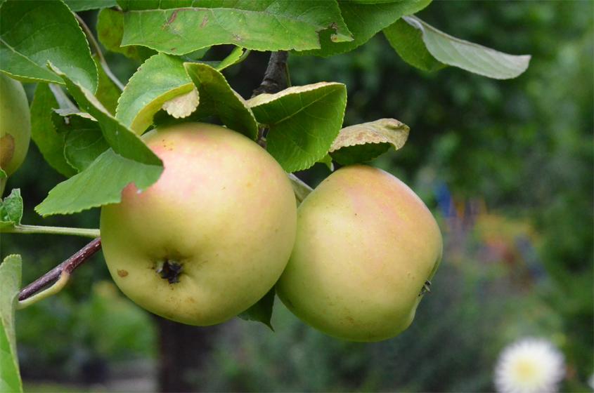 Äpfel beim Reifen am Zwergapfelbaum