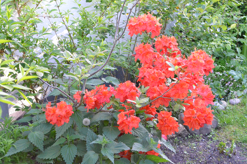 Azalee rot (Rhododendron)